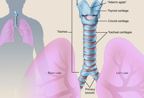 Anatomy of trachea